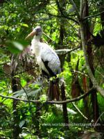 large wood stork in jungle setting
